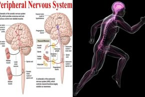 Sympathetic sensory system key to thermogenesis, new review proposes