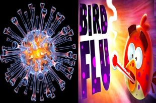 Bird flu vaccines do not give sufficient guarantee