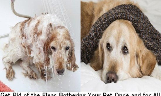 Get Rid of the Fleas Bothering Your Pet