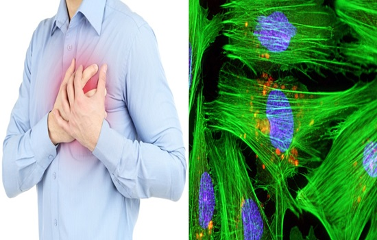 Heart muscle cells created in the laboratory